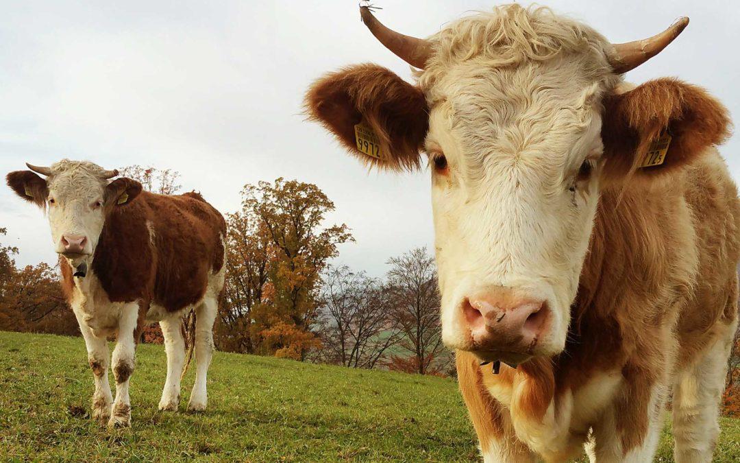 Ein JA für die Würde der Kühe und ein JA für das Tierwohl